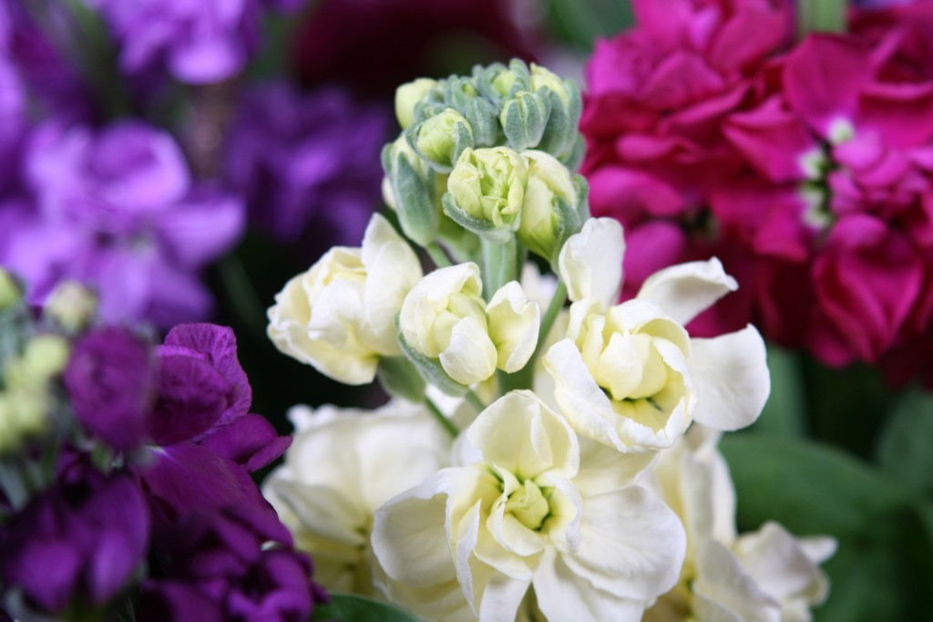 Matthiola